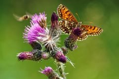 Melitae butterfly feeding on thistle Cirsium Vulgare royalty free stock images
