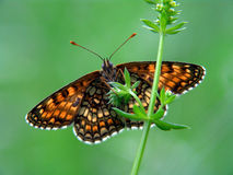 Free Melitaea Athalia. Stock Image - 528511