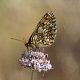 Melitaea athalia, Heath fritillary butterfly Royalty Free Stock Photography