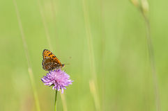 Melitaea butterfly Stock Photo