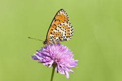 Melitaea butterfly Stock Images