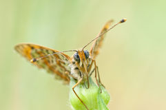 Melitaea butterfly Royalty Free Stock Photography