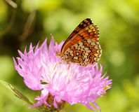 Melitaea cinxia Stock Photos