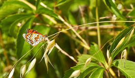 Melitaea cinxia Royalty Free Stock Image