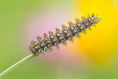 Melitaea didyma caterpillar Stock Photography