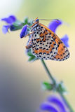 Melitaea didyma Stock Photo