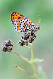 Melitaea didyma Stock Photos
