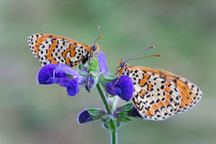 Melitaea didyma Royalty Free Stock Photos