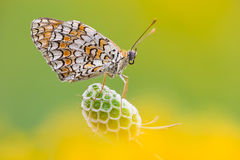 Melitaea Didyma Royalty Free Stock Photography