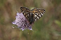 Melitaea didyma meridionalis, Spotted Fritillary. Or Red-band Fritillary from Southern France, Europe Stock Images