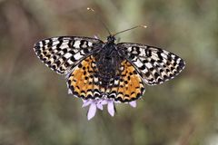Melitaea didyma meridionalis, Spotted Fritillary or Red-band Fritillary (female) Royalty Free Stock Photos