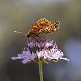Melitaea didyma, Spotted fritillary butterfly Stock Photography