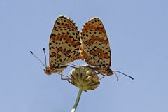 Melitaea didyma, Spotted Fritillary or Red-band Fritillary Stock Photos