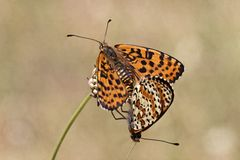 Melitaea didyma, Spotted fritillary or Red-band fritillary butterfly Royalty Free Stock Photos