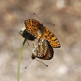 Melitaea didyma, Spotted Fritillary or Red-band Fritillary (Copula) from Southern France Royalty Free Stock Photography