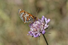 Melitaea didyma, Spotted fritillary or Red-band fritillary, european butterfly from France Stock Photo