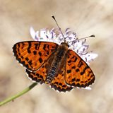 Melitaea didyma, Spotted fritillary or Red-band fritillary (male) Royalty Free Stock Photo