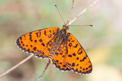 Melitaea Stock Photos
