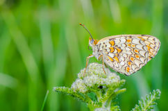 Melitaea phoebe on flower Royalty Free Stock Images