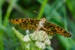Melitaea phoebe on flower Royalty Free Stock Photography