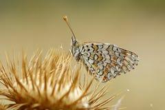 Melitaea phoebe op een distel bij dageraad wordt neergestreken die Royalty-vrije Stock Fotografie