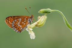 Melitaea-Schmetterling auf weißer Blume stockfotos