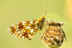 Melitaea sp. Royalty Free Stock Image