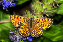 Melitaea trivia / lesser spotted fritillary, femal Royalty Free Stock Photography