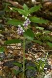 Melittis melissophyllum. (Bastard Balm) in the forest Stock Images