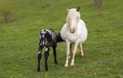 Melk van veulen de zuigende moeders van merrie royalty-vrije stock afbeelding