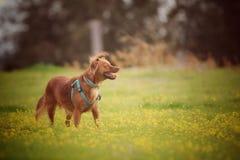 Melkachtig de hond royalty-vrije stock fotografie