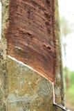Melkachtig die Latex uit rubberboom, Bron wordt gehaald van natuurrubberboom in de plaats van Thailand stock afbeeldingen