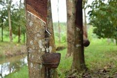 Melkachtig die Latex uit rubberboom, Bron wordt gehaald van natuurrubberboom in de plaats van Thailand stock foto