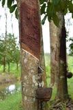 Melkachtig die Latex uit rubberboom, Bron wordt gehaald van natuurrubberboom in de plaats van Thailand stock fotografie