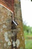 Melkachtig die Latex uit rubberboom, Bron wordt gehaald van natuurrubberboom in de plaats van Thailand royalty-vrije stock afbeeldingen