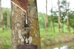 Melkachtig die Latex uit rubberboom, Bron wordt gehaald van natuurrubberboom in de plaats van Thailand royalty-vrije stock foto