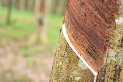 Melkachtig die Latex uit rubberboom, Bron wordt gehaald van natuurrubberboom in de plaats van Thailand royalty-vrije stock foto's