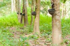 Melkachtig die latex uit rubberboom wordt gehaald (Hevea Brasiliensis) stock foto