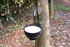 Melkachtig die latex uit rubberboomhevea Brasiliensis wordt gehaald royalty-vrije stock fotografie