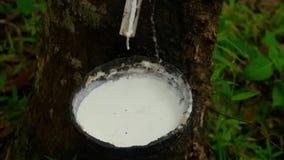 Melkachtig latex dat uit rubberboom wordt gehaald stock videobeelden