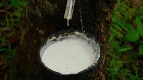 Melkachtig latex dat uit rubberboom wordt gehaald stock video