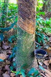 Melkachtig latex dat uit rubberboom wordt gehaald Stock Foto's