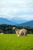 Melken der Schafe Stockfotos