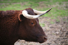 Melken des Devon-Vieh-Portraits Lizenzfreie Stockfotografie
