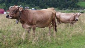 Melkkühe auf Wiese stock video
