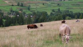 Melkkühe auf Wiese stock footage