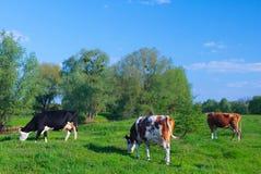 Melkkoeien die in een groen weiland van het grasgebied onder blauwe sk weiden royalty-vrije stock afbeeldingen