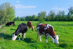 Melkkoeien die in een groen weiland van het grasgebied onder blauwe sk weiden royalty-vrije stock fotografie