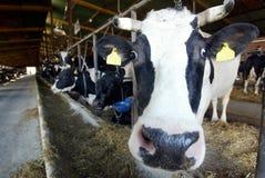 Melkveehouderij Stock Afbeeldingen