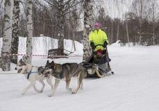 Mellansel Szwecja, Mars, - 07,2018: Dorosła przejażdżka psi saneczki na fie Obraz Royalty Free